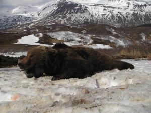 Alaska-100-2008-Rick-M-bear-300x225