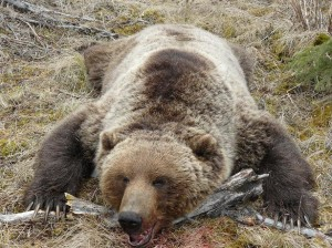 Alaska-177-griz-300x224