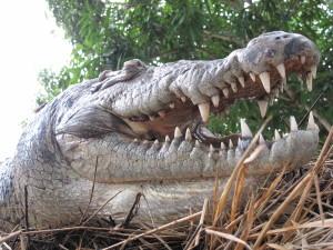 Mozambique-157-Croc-head-shot-s-walters-2009-300x225