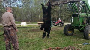 SK-180-big-Saskatchewan-bear-300x169