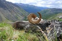 sheep-hunting-2012-07