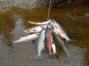 Alaska-17-Fish-on-Stringer-2012-300x225