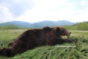 Romanian-Brown-bear-trophy-300x200