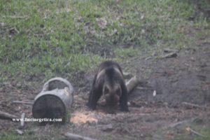 romanian-brown-bear-on-bait-300x200