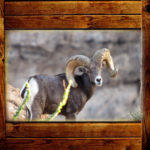 Trophy Bighorn Sheep