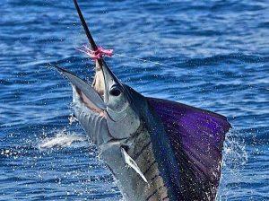 Costa-Rica-134-jumping-sailfish-300x224